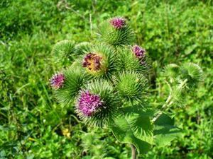 kwiaty łopianu
