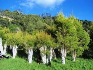 Plantacja drzew herbacianych