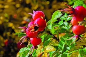 dzika róża na krzewie