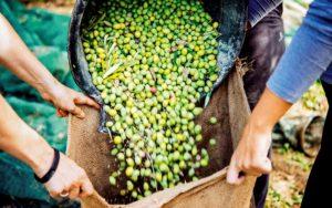 zbór oliwek