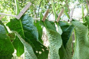 liście żywokostu lekarskiego