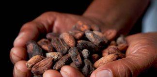nasiona kakao