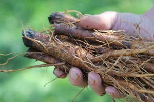 korzenie łopianu