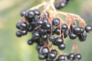 dojrzałe owoce czarnego bzu