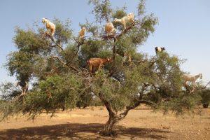 drzewo arganowca